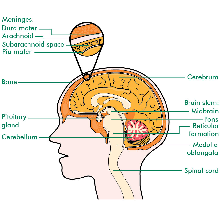 brain cancer diagrams ependymomas - understanding - macmillan cancer support