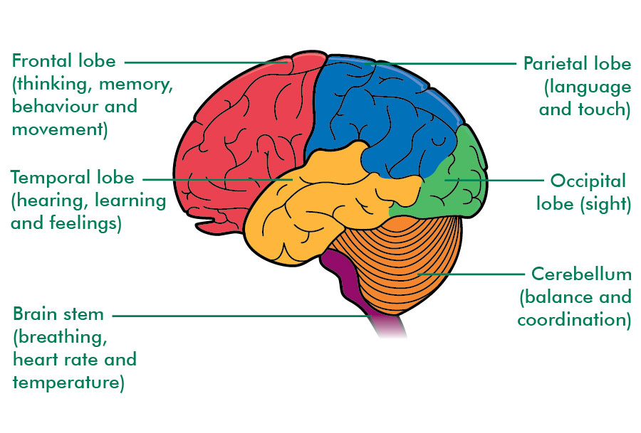 The areas of the brain