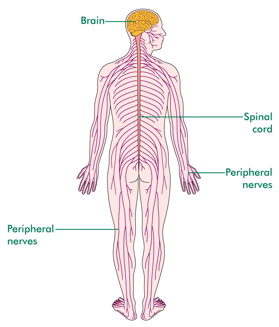 The spinal cord and central nervous system