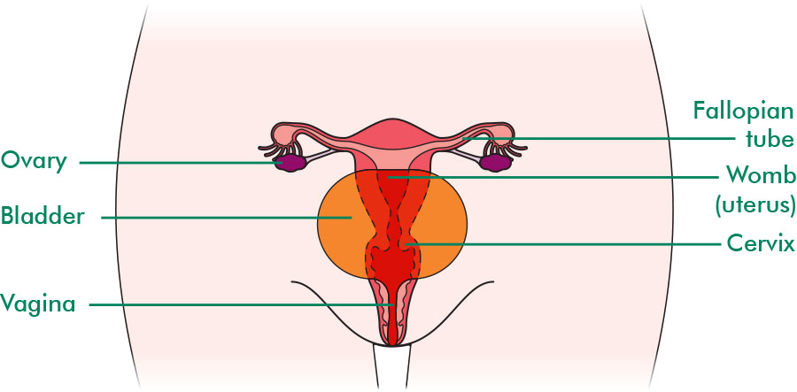The fallopian tubes and their surrounding structures