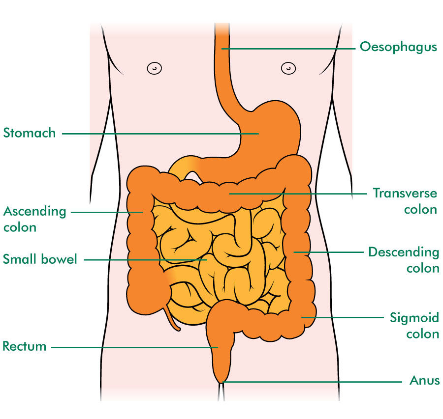 The small and large bowel