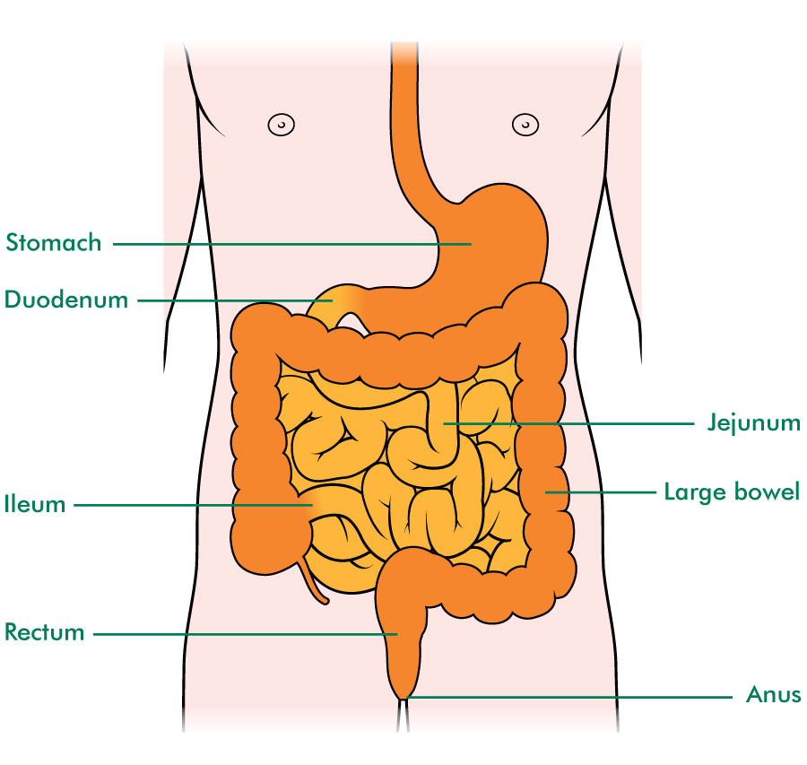 The position and sections of the small bowel