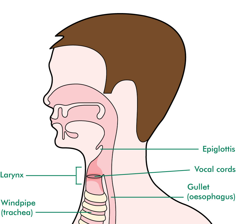The larynx and surrounding area