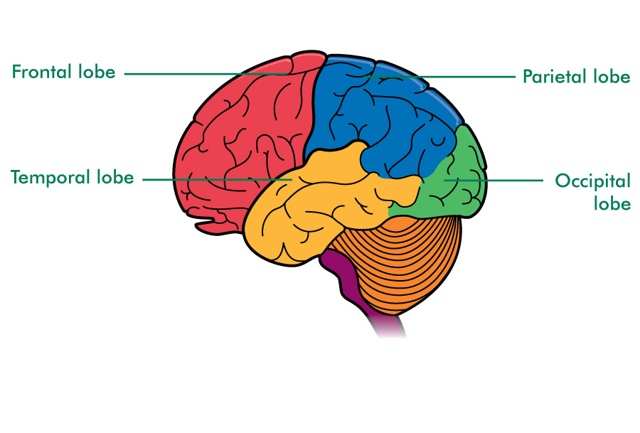Areas of the cerebrum