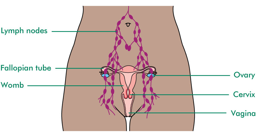 The ovaries and fallopian tubes