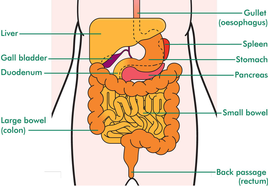 The position of the stomach
