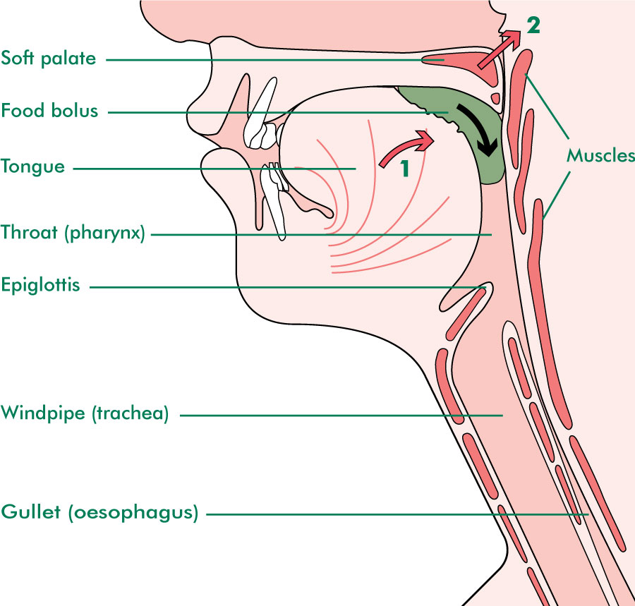 Mouth (oral) stage of swallowing
