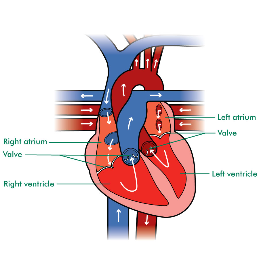 The inside of the heart
