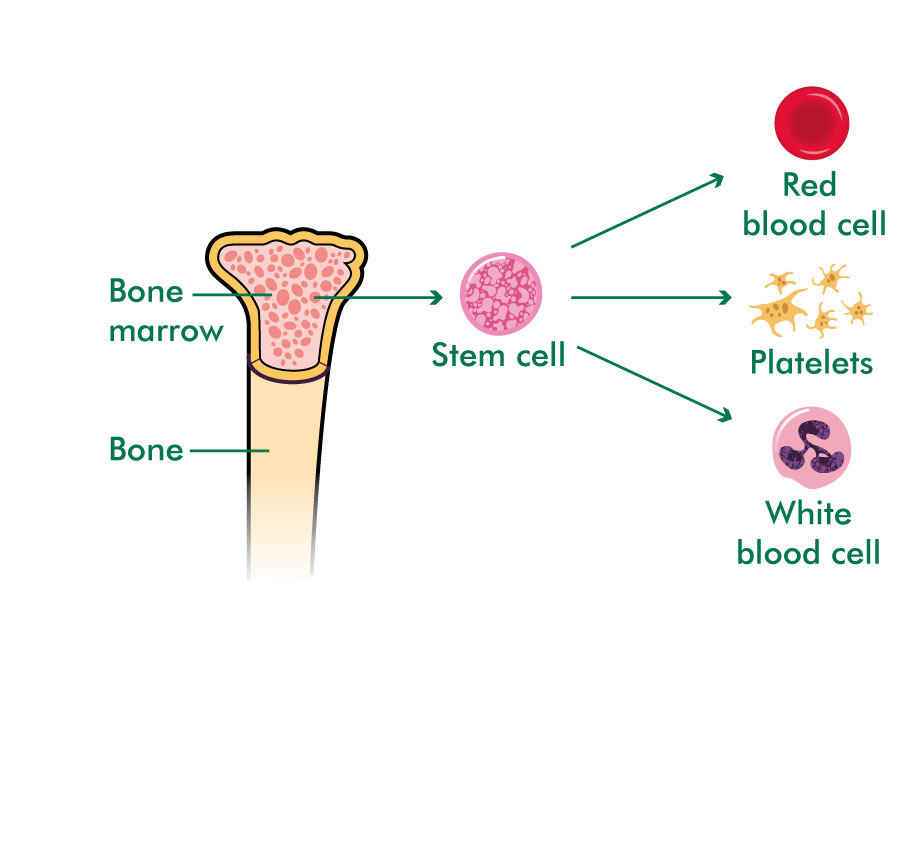 Bone marrow producing stem cells