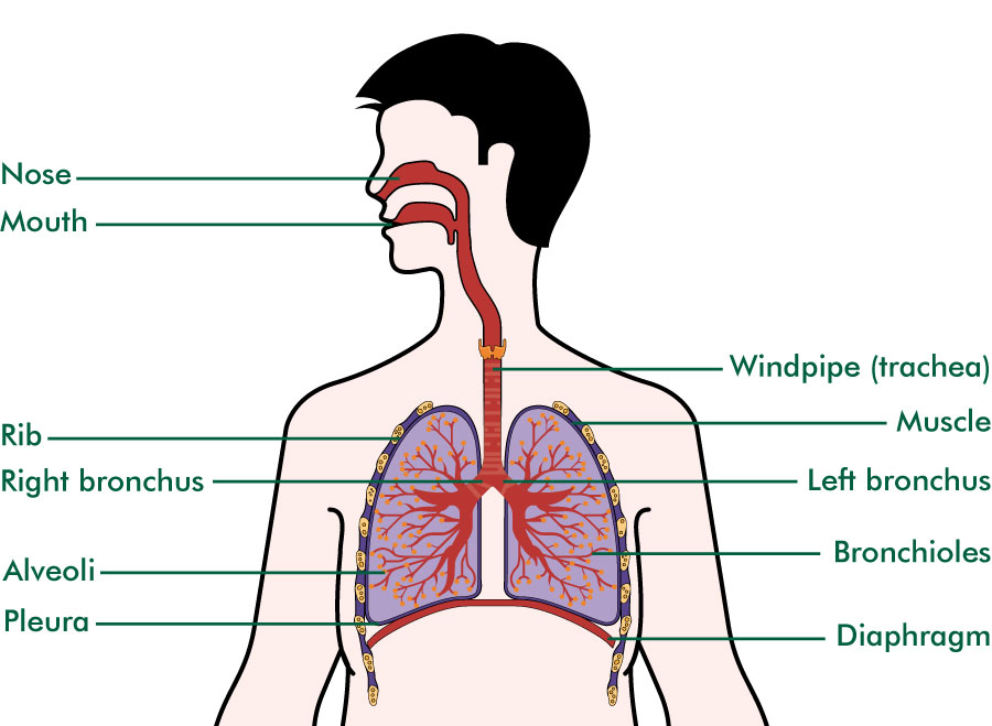 Upper airways and the lungs