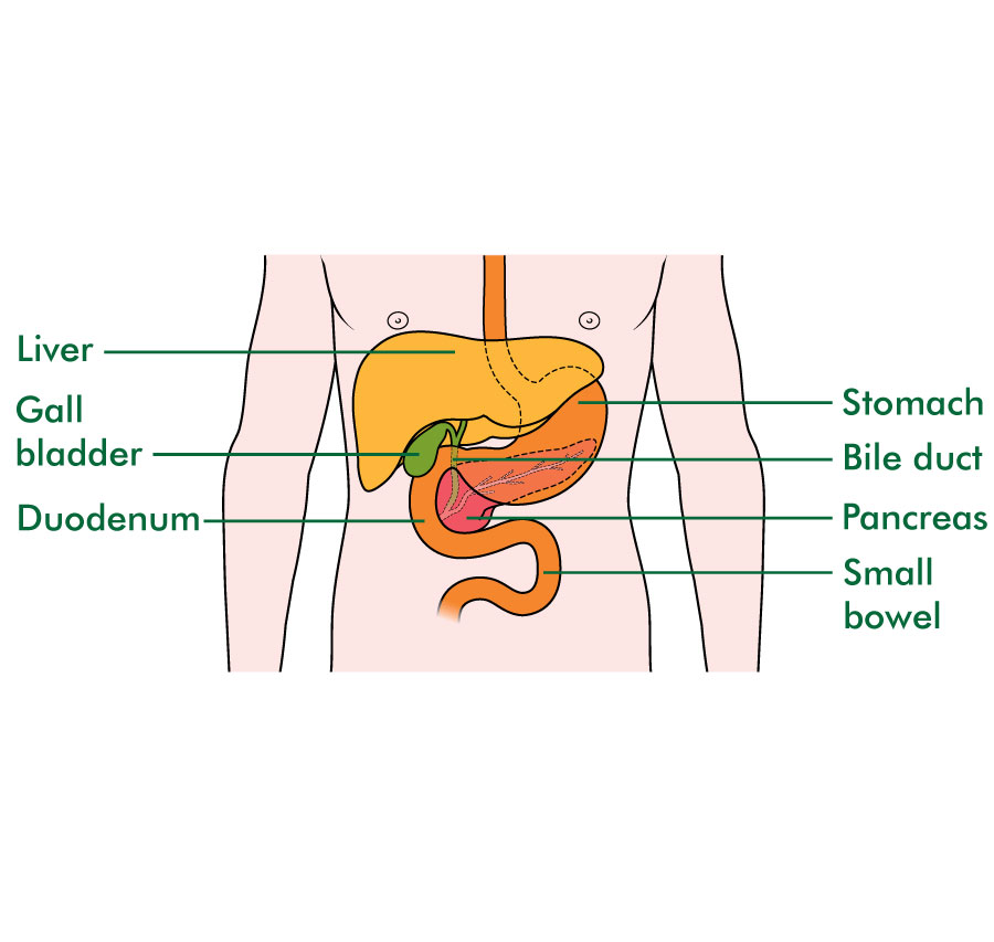 The position of the pancreas