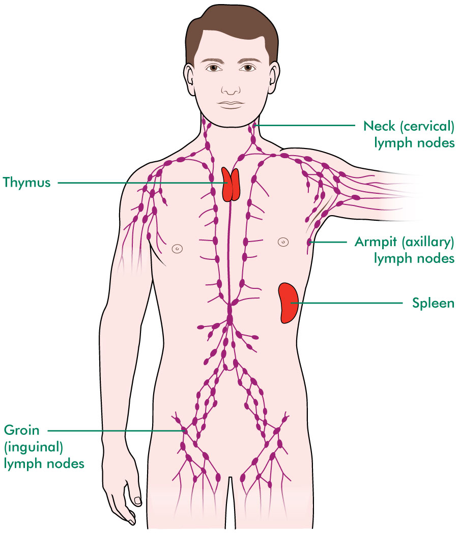 The Blood And The Lymphatic System Understanding Macmillan