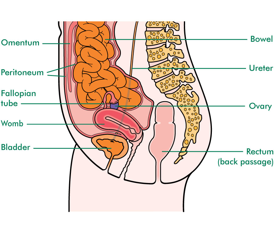 The ovaries and surrounding structures