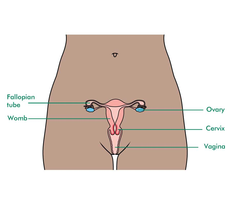 The ovaries and reproductive system