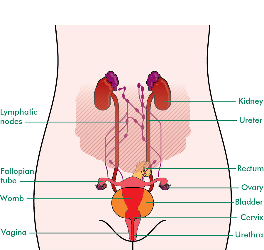 Organs close to the ovaries