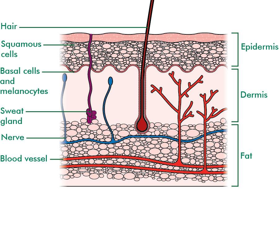 The skin - Understanding - Macmillan Cancer Support