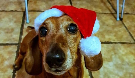 A dog in a santa hat