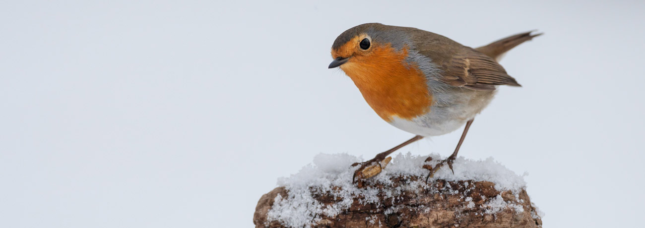 A Robin sitting on a fenct post with a snowy background.