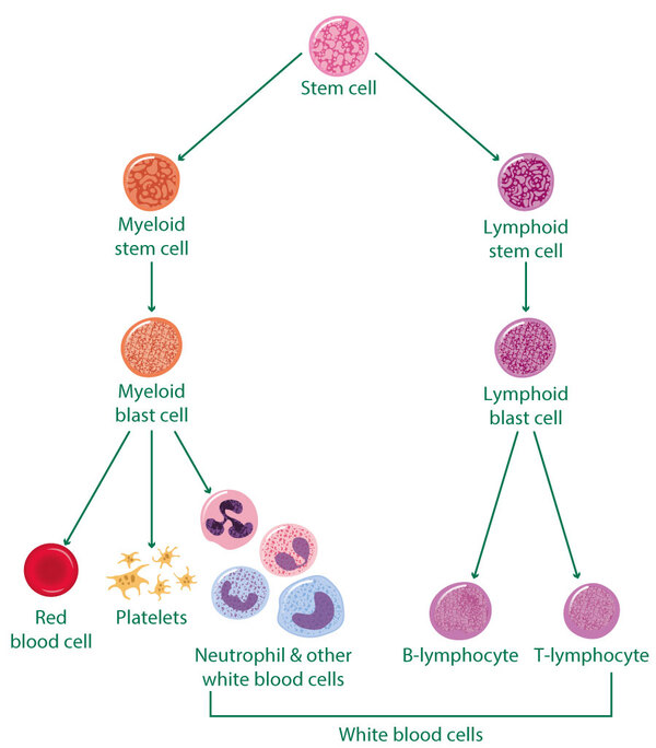 MACD261 How blood cells divide