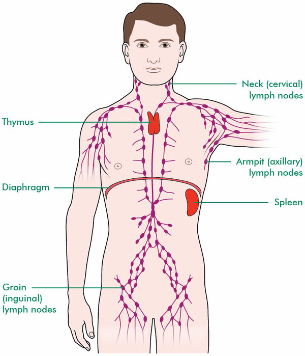 The diagram shows the network of lymph nodes throughout the body. There are nodes in the neck (cervical), armpit (axilla) and groin (inguinal). There are also lymph nodes in the chest and abdomen. The diagram shows the thymus gland at the top of the chest area, and the spleen, which is on the left side of the abdomen. The diagram also shows the diaphragm, which is the muscle that separates the chest from the abdomen.