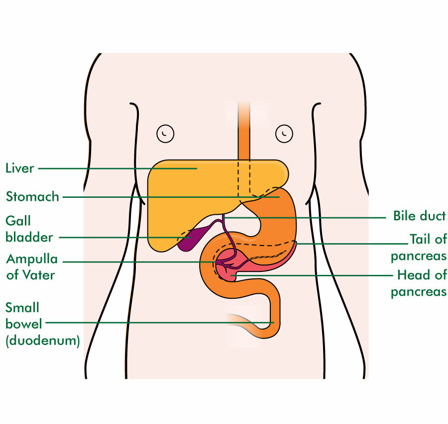 The position of the bile ducts