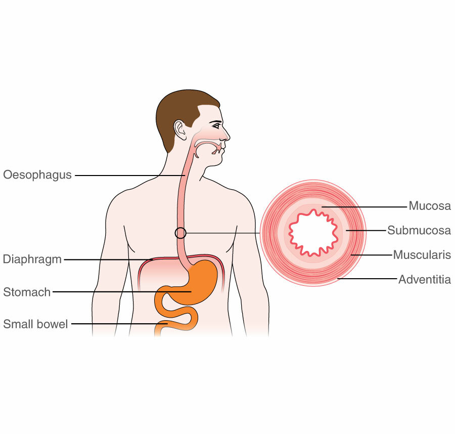 The oesophagus and surrounding organs