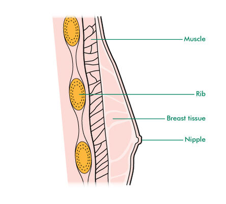 Cross section of the male breast