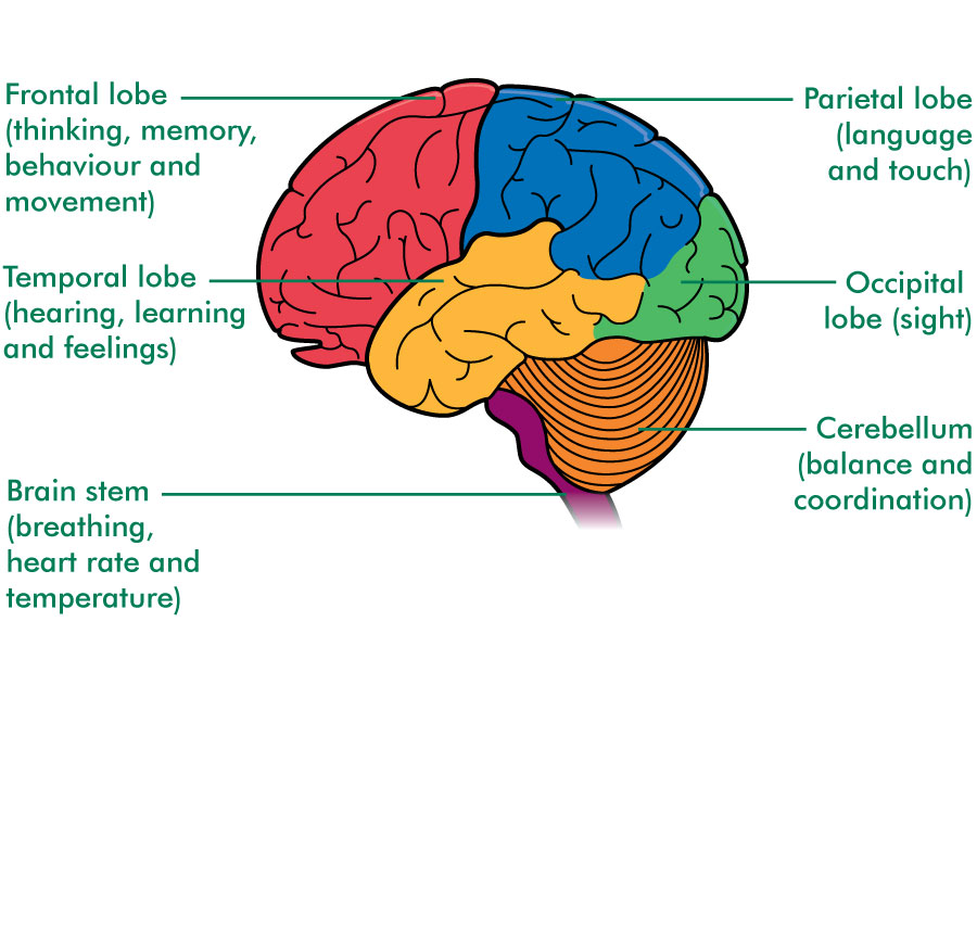 The brain structure and function cancer information view a large version of the diagram showing the lobes and functions of the brain ccuart Choice Image