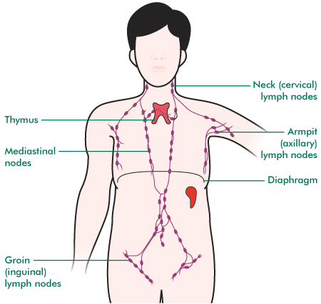 An image of the lymphatic system